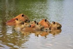 capybara rodents aquatic mammals family sleeping together