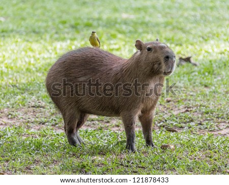 Capybara with a bird on his back - El Cedral, Los Llanos, Venezuela