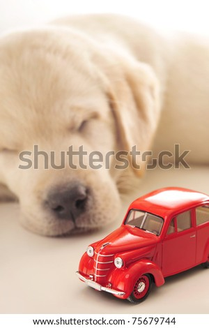 Car insurance concept. Little golden retriever puppy sleeping near red retro car on a white table