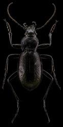 Carabus problematicus entomological specimen macro shot