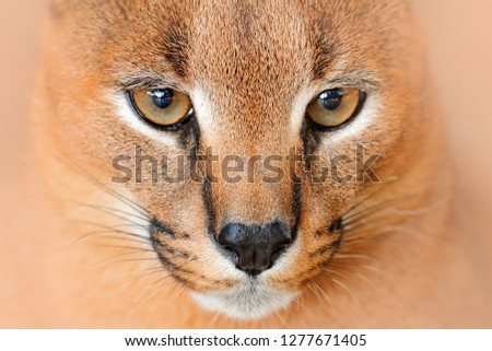 Caracal, African lynx, detail eye portrait. Beautiful wild cat in nature habitat, Botswana, South Africa. Animal face to face with beautiful eyes, Felis caracal. Wildlife scene from nature. #1277671405