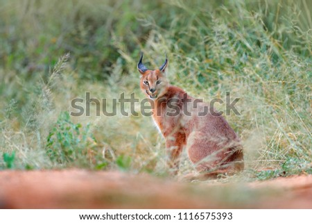 Caracal, African lynx, hidden in green grass vegetation. Beautiful wild cat in nature habitat, Botswana, South Africa. Animal in beautiful environment, caracal sitting on gravel road.  #1116575393
