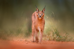 Caracal, African lynx, in green grass vegetation. Beautiful wild cat in nature habitat, Botswana, South Africa. Animal face to face walking on gravel road, Felis caracal.