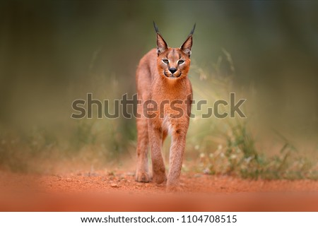 Caracal, African lynx, in green grass vegetation. Beautiful wild cat in nature habitat, Botswana, South Africa. Animal face to face walking on gravel road, Felis caracal. #1104708515