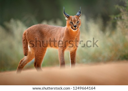 Caracal, African lynx, in green grass vegetation. Beautiful wild cat in nature habitat, Botswana, South Africa. Animal face to face walking on gravel road, Felis caracal. Wildlife scene from nature. #1249664164