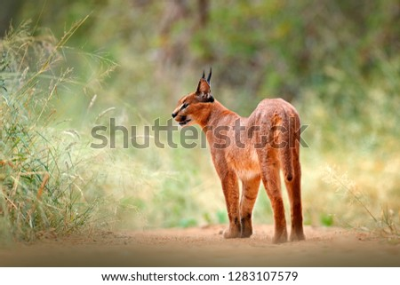 Caracal, African lynx, in green grass vegetation. Beautiful wild cat in nature habitat, Botswana, South Africa. Animal face to face walking on gravel road, Felis caracal. Wildlife scene from nature. #1283107579