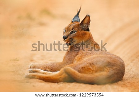 Caracal, African lynx, in orange sand desert, Etosha NP, Namibia. Beautiful wild cat in nature habitat, South Africa. Animal face to face sitting on gravel road, Felis caracal. #1229573554