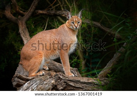 Caracal, African lynx, on the tree vegetation. Beautiful wild cat in nature habitat, Botswana, South Africa.Wildlife scene from nature.  Animal face to face walking on gravel road, Felis caracal.  #1367001419
