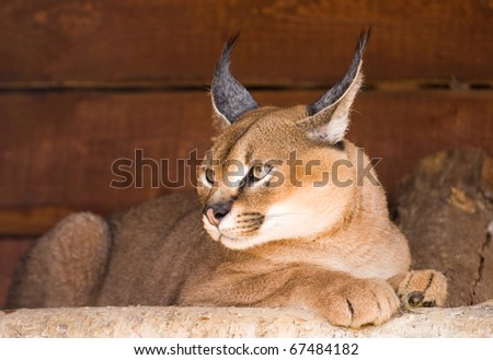 Caracal (an armor. Caracal caracal). A deserted (steppe) lynx