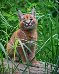 Caracal (Caracal caracal) Bigcat Cute