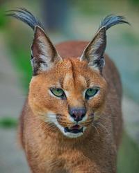 Caracal (Caracal caracal) Bigcat Mammal