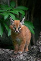 Caracal (Caracal caracal) Cute Bigcat