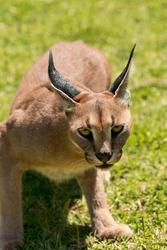 Caracal (Caracal caracal) looking aggressive, age 18 months, captive