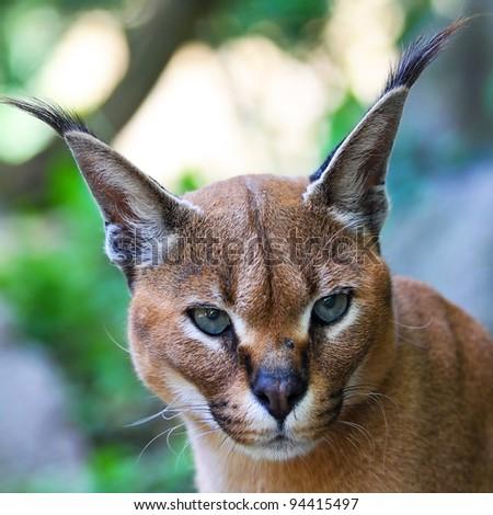 Caracal caracal, Deserted steppe lynx