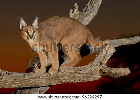 Caracal (Felis caracal) on a dead log at sunset, South Africa