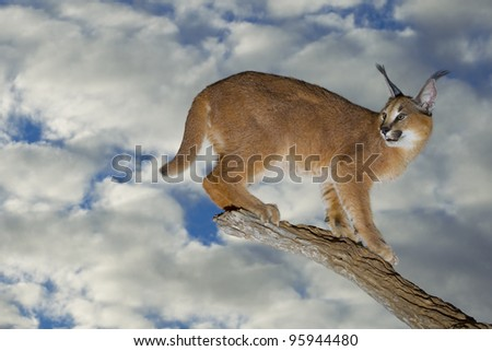 Caracal (Felis caracal) on a dead log, South Africa
