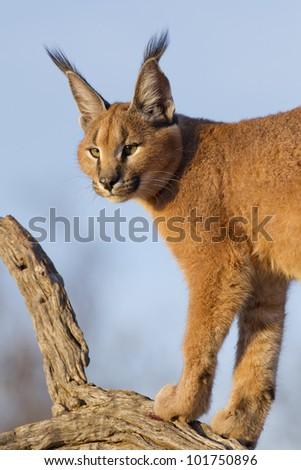 Caracal (Felis caracal) up high on a dead log in South Africa