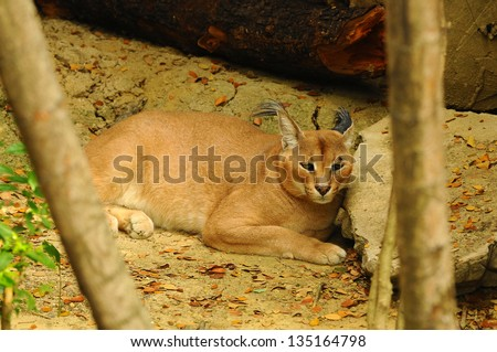 Caracal in South Africa, (Felis caracal)
