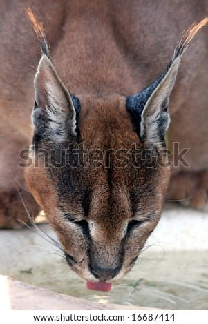 Caracal lynx lapping up water with it's tongue
