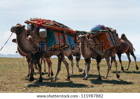 Caravan of camels transporting dismantled tent of Mongolian nomads to a new location