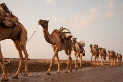 Caravan of camels walking across desert in Danakil Depression at sunrise, bringing salt for sale from salt mining plain in Ethiopia