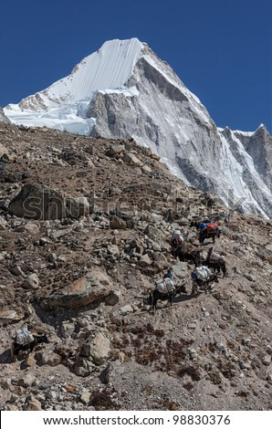 Caravan of yaks carries the burden of the EBC on the trail near the peak of the Lingtren - Everest region, Nepal