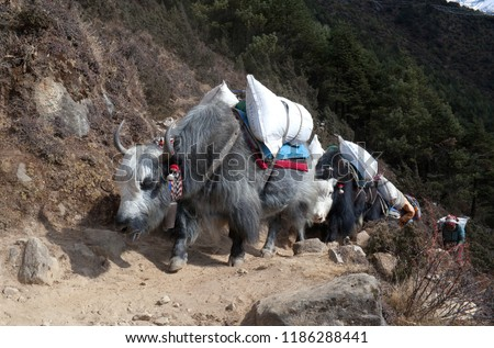 Caravan of yaks in the Nepal Himalaya. The yak a long-haired bovid found throughout the Himalaya region of south Central Asia, Tibetan Plateau and Mongolia. #1186288441