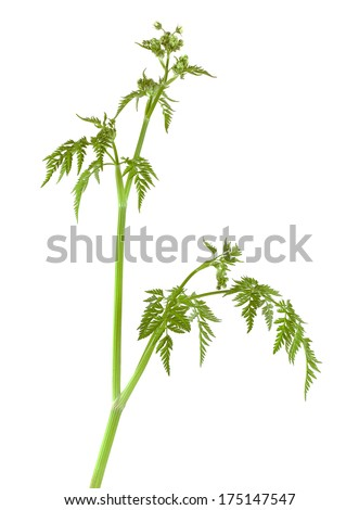 Caraway (Carum carvi) or meridian fennel not yet sprung, isolated on white background