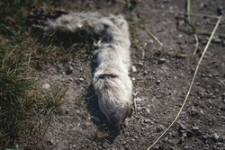 Carcass of a sheep leg on a dirt road along a field, eaten by the local wildlife, Austria