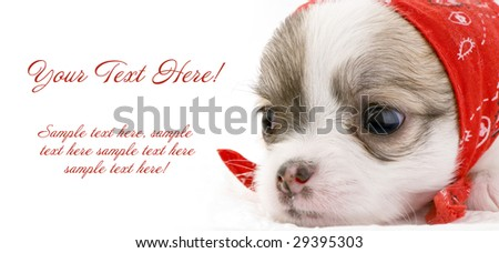Card with cute chihuahua puppy with red headscarf close-up on white background