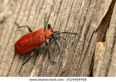 cardinal beetle (lat. Pyrochroa coccinea) on the old wooden board