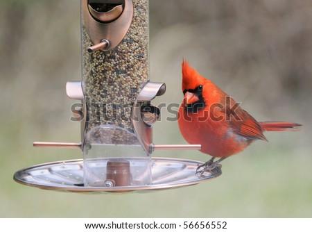 Cardinal Bird at Bird-Feeder