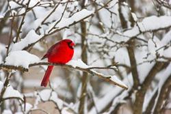 Cardinal Bird Winter Nature Landscape