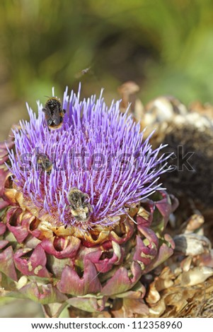 Cardoon covered with pollen and bees