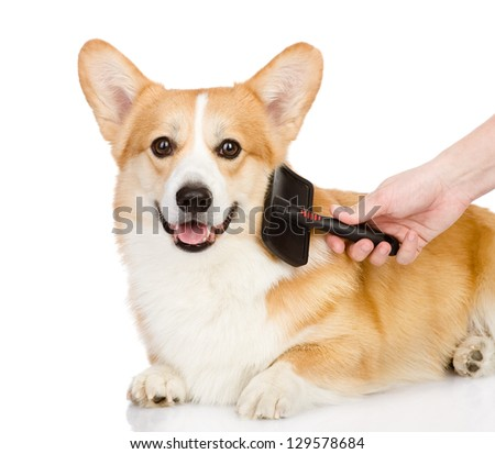 care for dog hair. looking at camera. isolated on white background