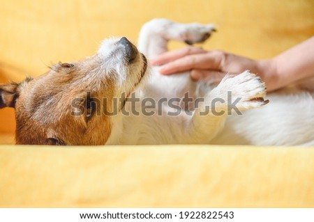 Care for pet concept with woman strokes and massages domestic dog's belly on couch Foto stock ©