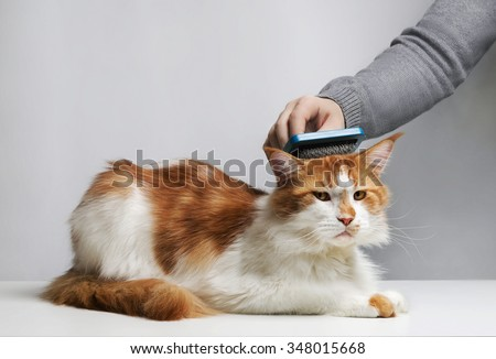 Care Maine Coon cat, combing hair brush for animals. Man\'s hand.