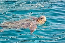 Caretta Caretta Turtle from Zakynthos, Greece, near  Laganas beach, emerges to take a breath