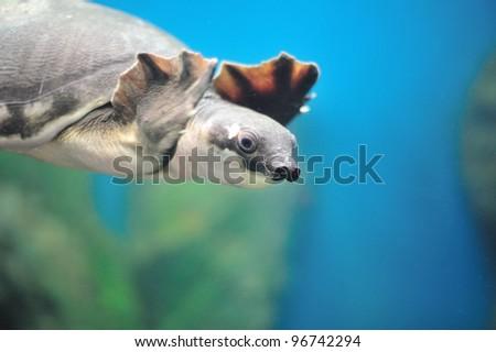 Carettochelys insculpta