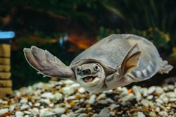 Carettochelys insculpta. The merry turtle swims under the water. Funny animals.