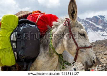 Cargo donkey head.\ Pack animal close-up carrying sheep decorated with traditional harness and other gear for transportation of load on wild deserted mountain area