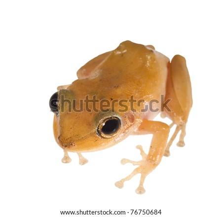 Caribbean coqui leaf frog (Eleutherodactylus portoricensis). Symbol of the island of Puerto Rico