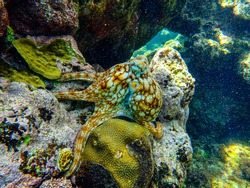 Caribbean Octopus displaying its colour changing