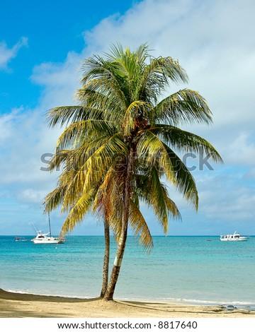 Caribbean Palm Tree - stock photo