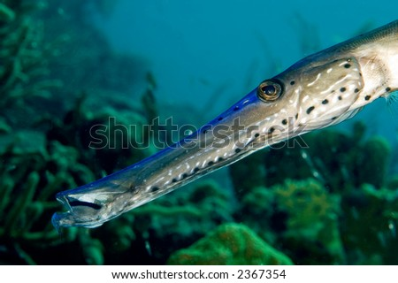 Caribbean Pipefish portrait in front of reef. Bonaire
