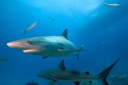 Caribbean reef shark.