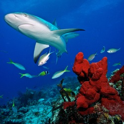 Caribbean reef shark and coral reef