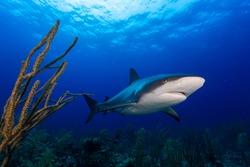 Caribbean reef shark and soft coral in Bahamas island