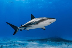 Caribbean reef shark (Carcharhinus perezi) swimming over the reef