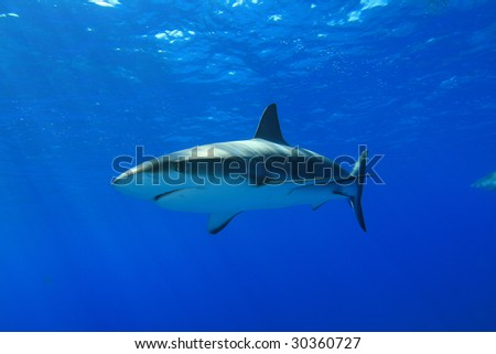 Caribbean reef shark in natural light